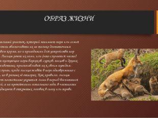 ОБРАЗ ЖИЗНИ Индивидуальный участок, который занимает пара или семья лисиц, до
