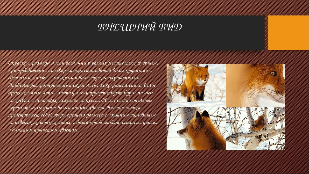 ВНЕШНИЙ ВИД Окраска и размеры лисиц различны в разных местностях. В общем, пр...