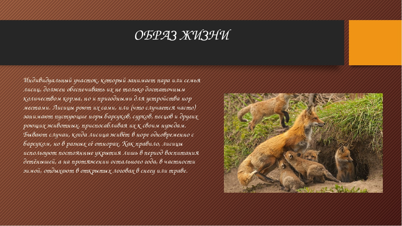 ОБРАЗ ЖИЗНИ Индивидуальный участок, который занимает пара или семья лисиц, до...