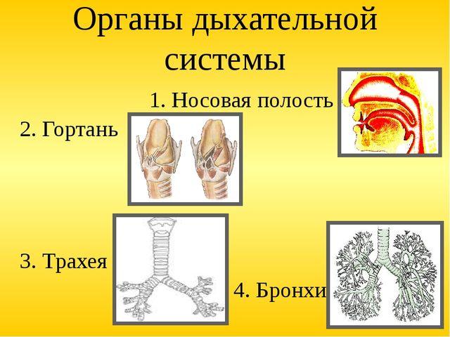 Органы дыхательной системы 1. Носовая полость 2. Гортань 3. Трахея 4. Бронхи