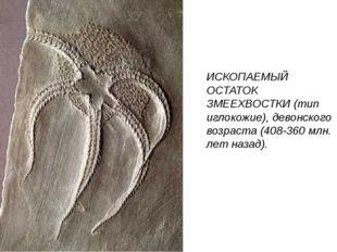 ИСКОПАЕМЫЙ ОСТАТОК ЗМЕЕХВОСТКИ (тип иглокожие), девонского возраста (408-360