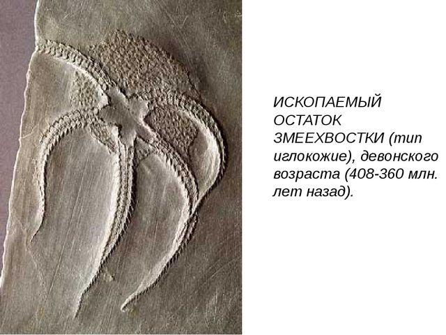 ИСКОПАЕМЫЙ ОСТАТОК ЗМЕЕХВОСТКИ (тип иглокожие), девонского возраста (408-360...