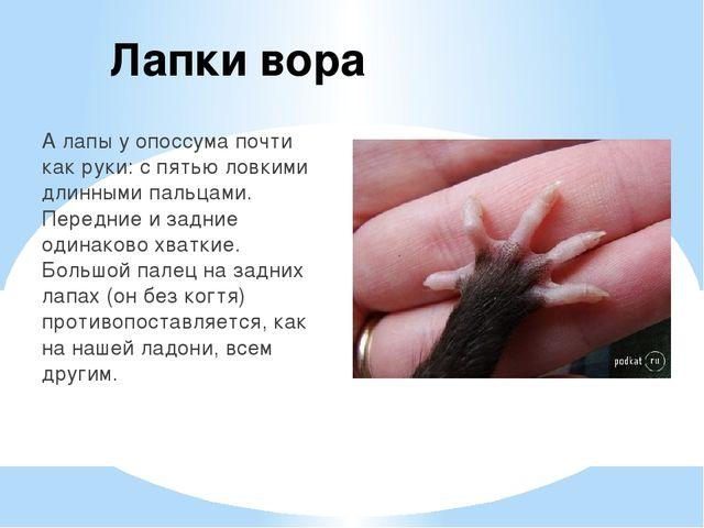 Лапки вора А лапы у опоссума почти как руки: с пятью ловкими длинными пальцам...