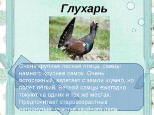 Глухарь Очень крупная лесная птица, самцы намного крупнее самок. Очень остор