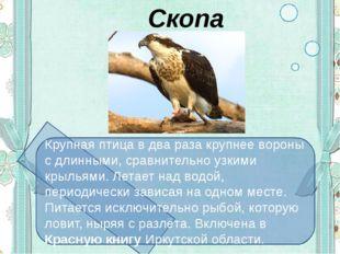 Скопа Крупная птица в два раза крупнее вороны с длинными, сравнительно узким