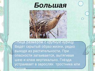 Большая выпь Птица размером с крупную курицу. Ведёт скрытый образ жизни, ред