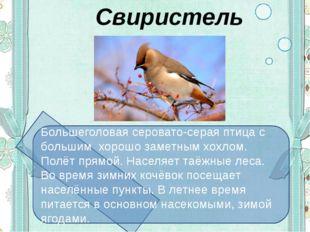 Свиристель Большеголовая серовато-серая птица с большим хорошо заметным хохл
