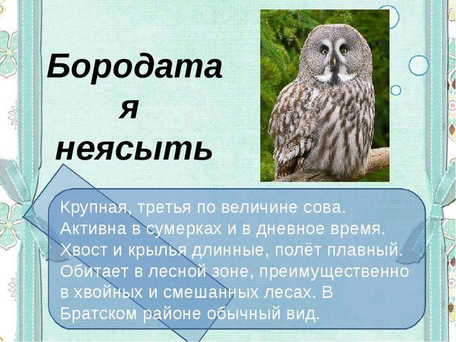 Бородатая неясыть Крупная, третья по величине сова. Активна в сумерках и в д...