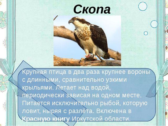 Скопа Крупная птица в два раза крупнее вороны с длинными, сравнительно узким...