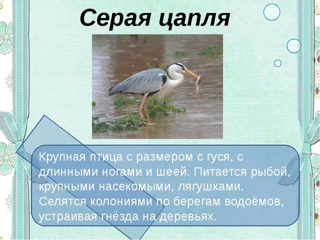 Серая цапля Крупная птица с размером с гуся, с длинными ногами и шеей. Питает...