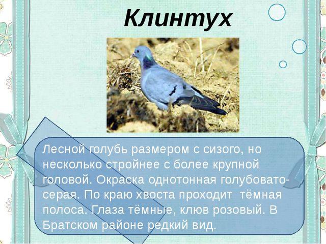 Клинтух Лесной голубь размером с сизого, но несколько стройнее с более крупн...