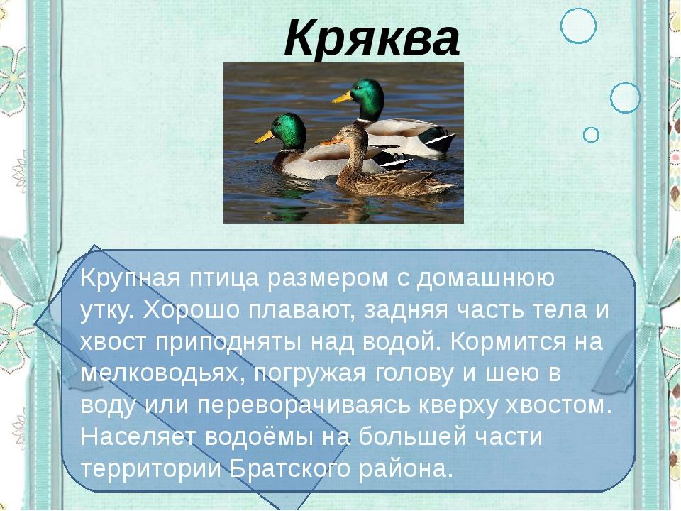 Кряква Крупная птица размером с домашнюю утку. Хорошо плавают, задняя часть...