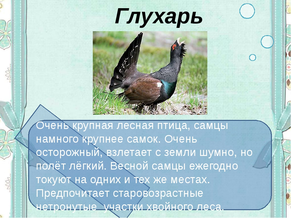 Глухарь Очень крупная лесная птица, самцы намного крупнее самок. Очень остор...