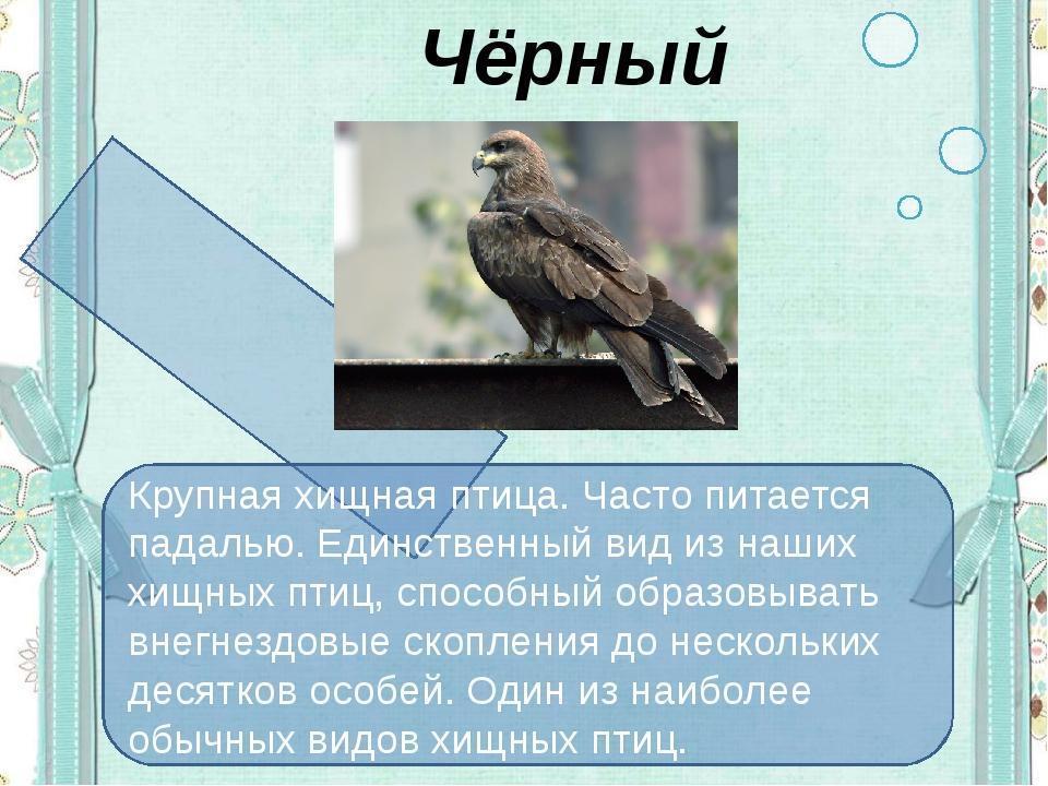 Чёрный коршун Крупная хищная птица. Часто питается падалью. Единственный вид...