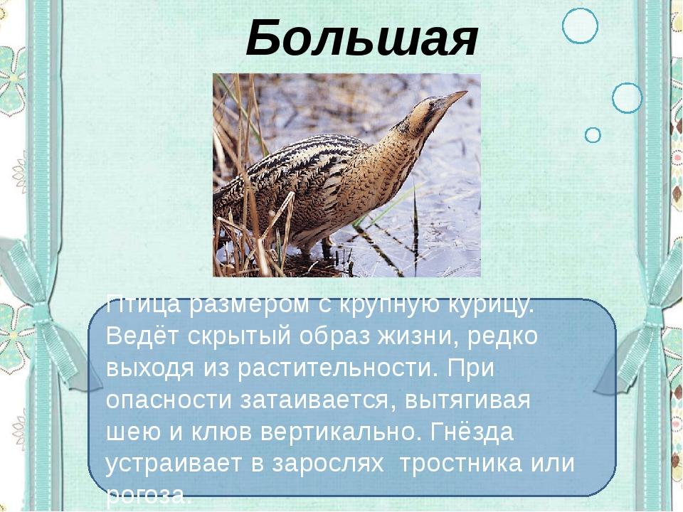 Большая выпь Птица размером с крупную курицу. Ведёт скрытый образ жизни, ред...