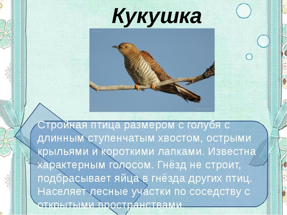 Кукушка Стройная птица размером с голубя с длинным ступенчатым хвостом, остр...