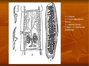 1 – ілмек; 2 – гермофрадитті буын; 3 – ересек буын Сурет – 1. Multiceps mult