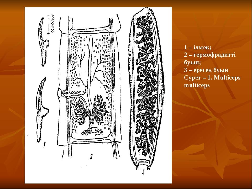 1 – ілмек; 2 – гермофрадитті буын; 3 – ересек буын Сурет – 1. Multiceps mult...
