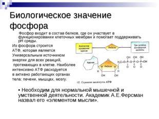 Биологическое значение фосфора Фосфор входит в состав белков, где он участвуе