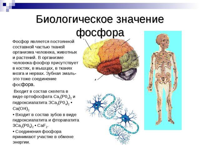 Биологическое значение фосфора Фосфор является постоянной составной частью тк...