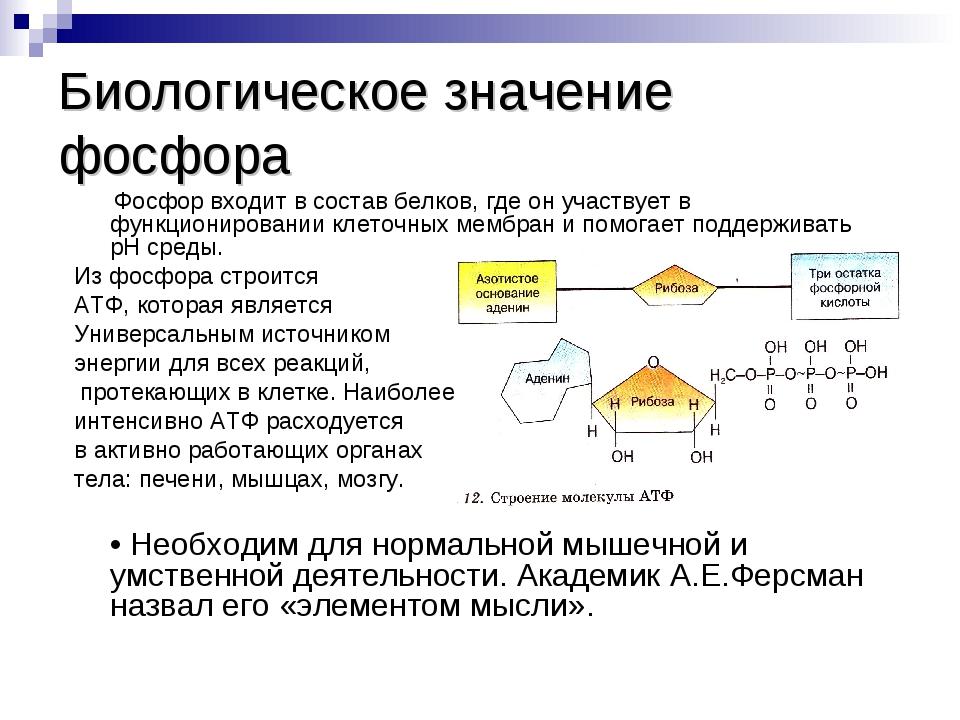 Биологическое значение фосфора Фосфор входит в состав белков, где он участвуе...