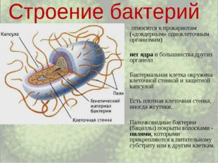 относятся к прокариотам («доядерным» одноклеточным организмам) нет ядра и бо
