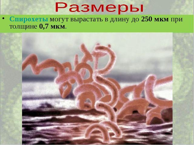 Спирохеты могут вырастать в длину до 250 мкм при толщине 0,7 мкм.