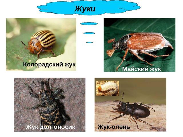 Колорадский жук Майский жук Жук долгоносик Жук-олень Жуки