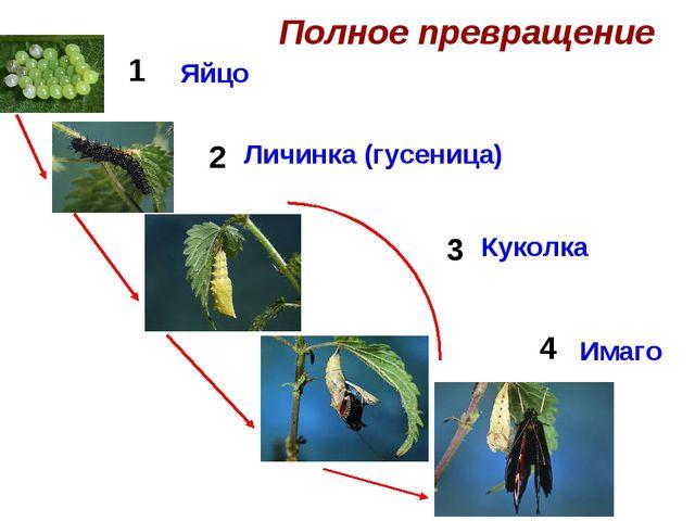 Полное превращение 1 2 3 4 Яйцо Личинка (гусеница) Куколка Имаго