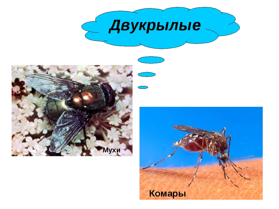 Мухи Комары Двукрылые