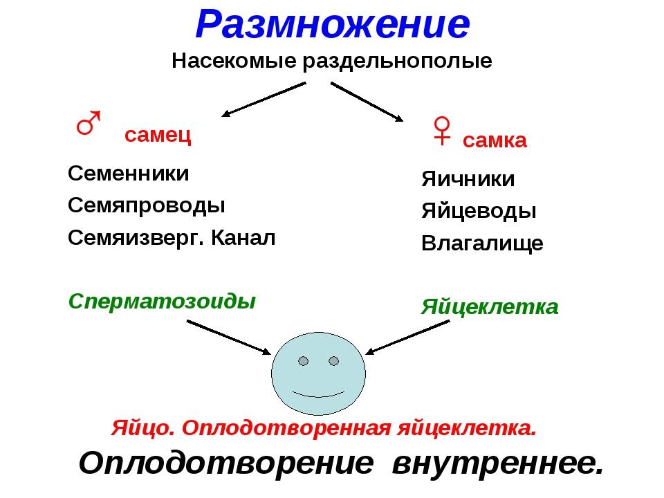 ♂ самец Семенники Семяпроводы Семяизверг. Канал Сперматозоиды ♀самка Яичники...
