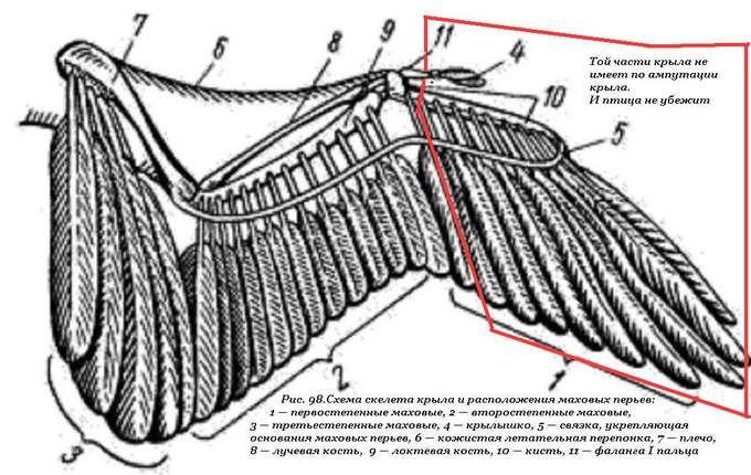 визаж строения крыла птицы фото фотографиям описанию