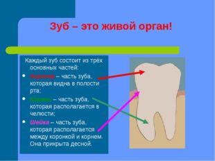 Зуб – это живой орган! Каждый зуб состоит из трёх основных частей: Коронка –