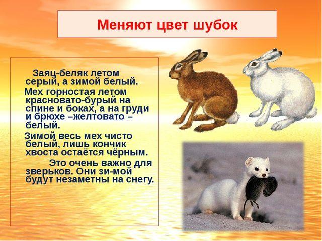 Меняют цвет шубок Заяц-беляк летом серый, а зимой белый. Мех горностая летом...