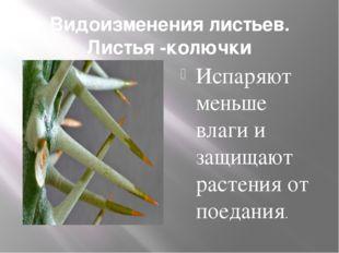 Видоизменения листьев. Листья -колючки Испаряют меньше влаги и защищают расте