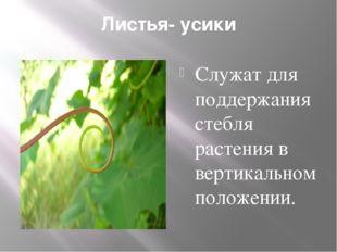 Листья- усики Служат для поддержания стебля растения в вертикальном положении.