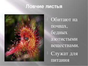 Ловчие листья Обитают на почвах, бедных азотистыми веществами. Служат для пит