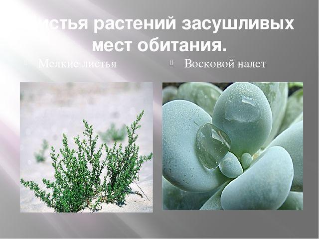 Листья растений засушливых мест обитания. Мелкие листья Восковой налет