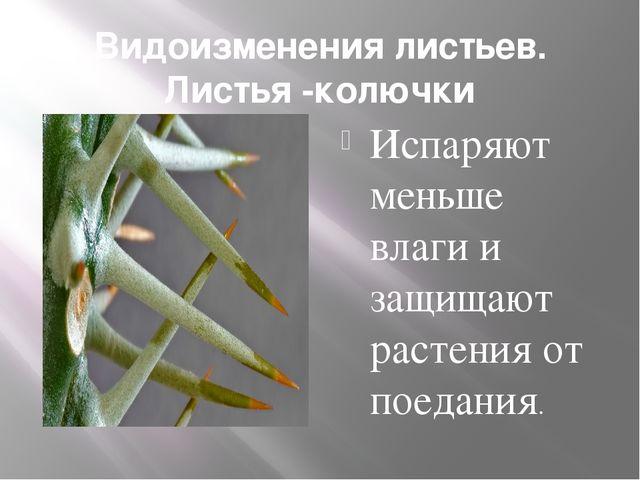 Видоизменения листьев. Листья -колючки Испаряют меньше влаги и защищают расте...
