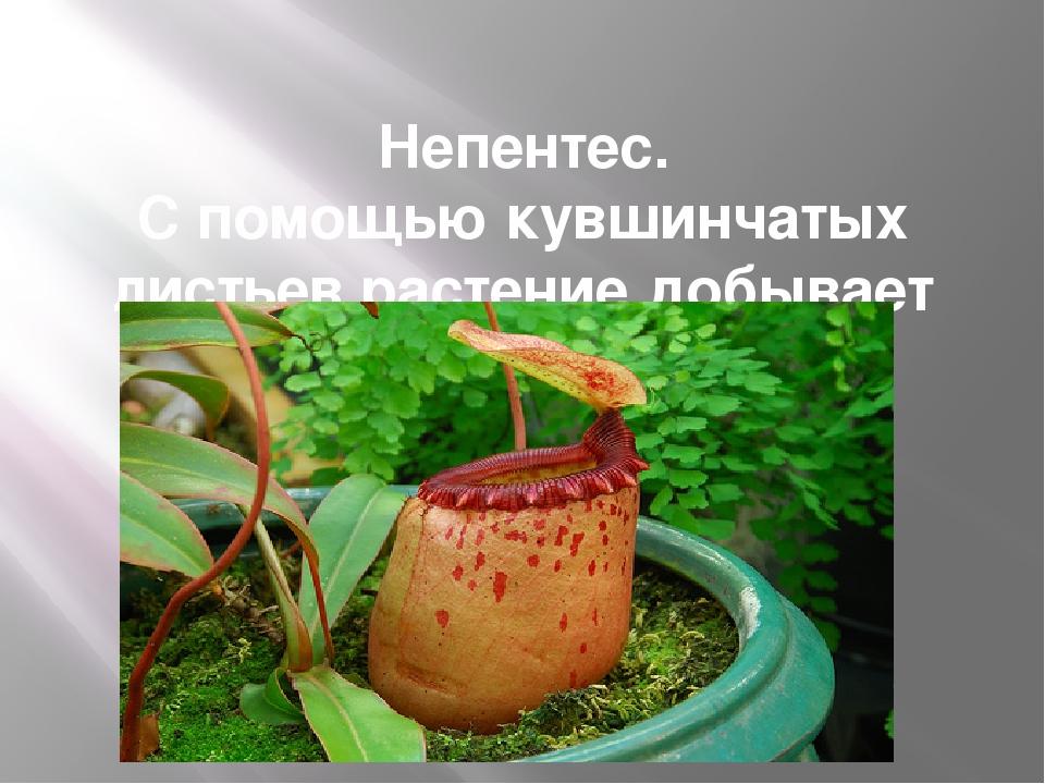Непентес. С помощью кувшинчатых листьев растение добывает себе пищу
