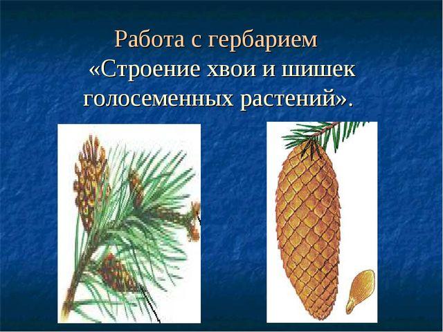 Работа с гербарием «Строение хвои и шишек голосеменных растений».