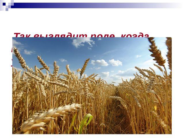 Так выглядит поле, когда приходит время сбора урожая.