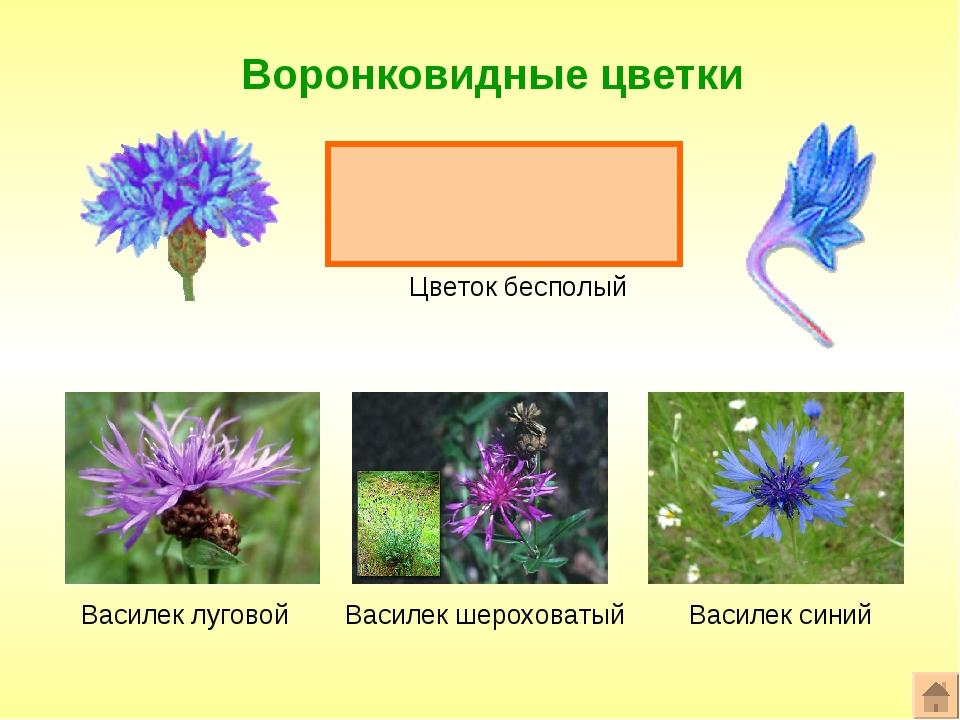 Воронковидные цветки Формула цветка: ^или*Ч0Л(5)Т0П0 Цветок бесполый Василек...