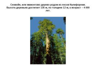 Секвойя, или мамонтово дерево родом из лесов Калифорнии. Высота деревьев дост