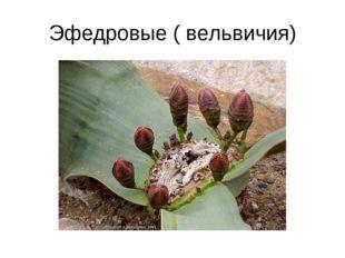 Эфедровые ( вельвичия)