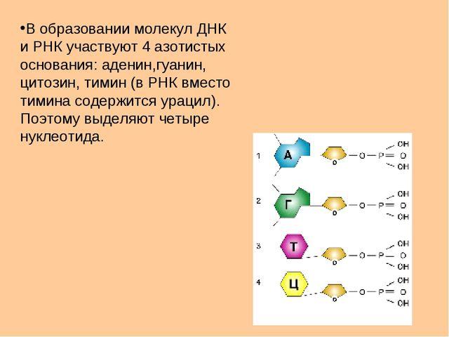 В образовании молекул ДНК и РНК участвуют 4 азотистых основания: аденин,гуани...