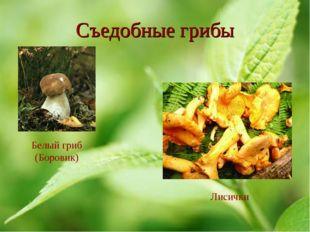 Съедобные грибы Белый гриб (Боровик) Лисички