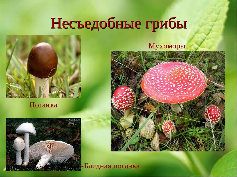 Несъедобные грибы -Бледная поганка Поганка Мухоморы