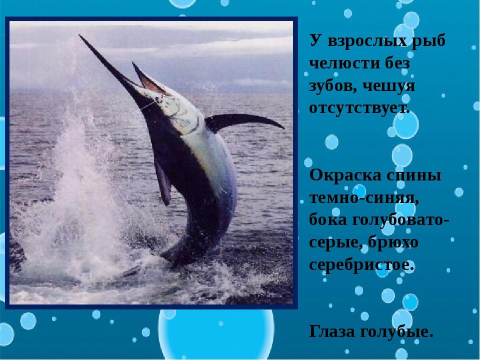 У взрослых рыб челюсти без зубов, чешуя отсутствует. Окраска спины темно-синя...