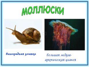 виноградная улитка большая медуза- арктическая цианея